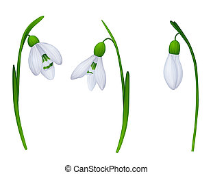 snowdrops - 3 snowdrops on white background