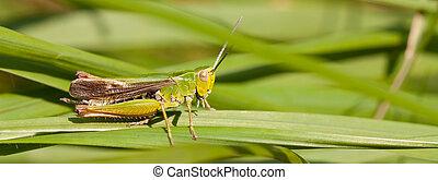 A grasshopper on the grass