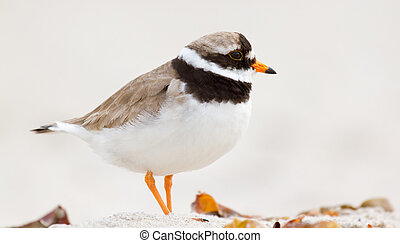 A ringed plover walking on the beach