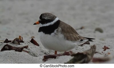 A ringed plover on the beach
