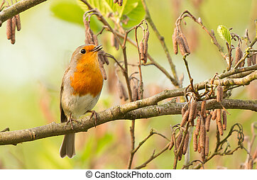 Robin perched on a twig