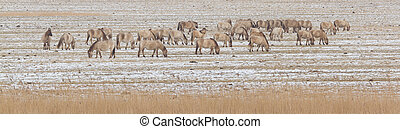 A group of Konik horses in the cold dutch landscape