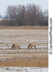 Two grazing Konik horses in the cold dutch landscape