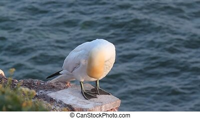 A gannet is washing itself