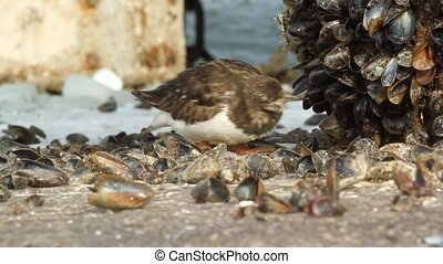 A Ruddy Turnstone is eating a mussel