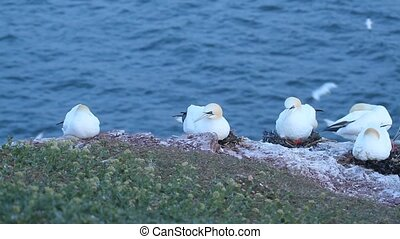 A colony of gannets