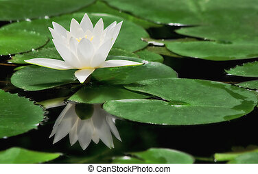 White water lily. - White water lily among green leafs on...