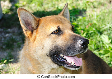 Shepherd-dog - An image of shepherd dog in garden