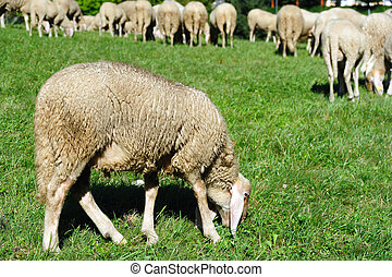 Ewe - An image of an ewe feeding on green pasture