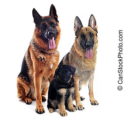 german shepherds and puppy - couple of a purebred german...