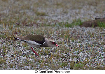 Andean Lapwing - Andean lapwing in breeding habitat,...