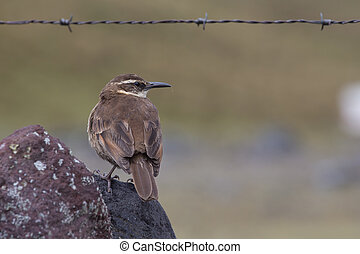 Stout-billed Cinclodes perching on rock in Cotopaxi National...