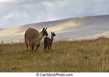 Llamas in Andean Highlands - Llama mother and cria (baby...
