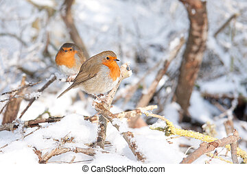 Robin redbreasts sitting in the snow