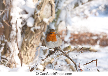 Robin redbreast sitting in the snow