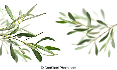 olive tree branches isolated over white, the right one is...