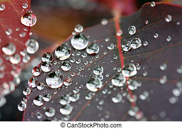 Water drops on a Cotinus plant