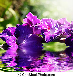gladiolus in the water in the summer - Beautiful purple...