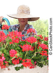 Woman in a straw hat watering geraniums