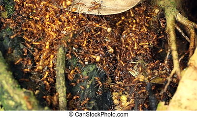 Army Ant Eciton sp bivouac Army ants do not have a permanent...