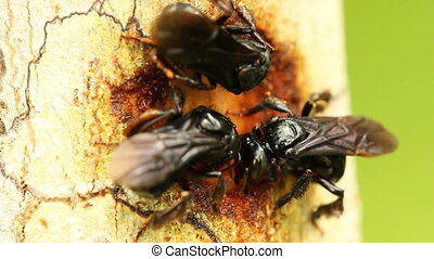 Sweat Bees - Sweat bees collecting bark for nest...