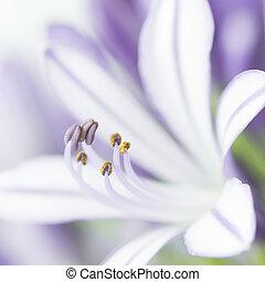 Primer plano, púrpura, Agapanthus, flor