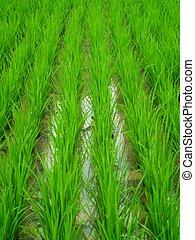 piantato, recentemente, riso