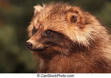 brown Raccoon - one brown Raccoon looks in the Cam