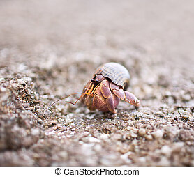 Hermit Crab Walking On Stone Beach