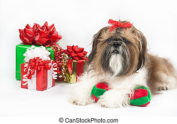 A Shih Tzu Christmas - A white, tan and black Shih Tzu with...