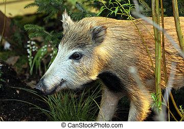 Wild boar - closeup of a wild boar in the wood