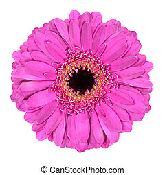 Pink Gerbera Marigold Flower Isolated on White - Pink...