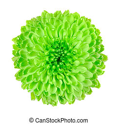 Lime Green Pom Pom Flower Isolated on White - Lime Green Pom...