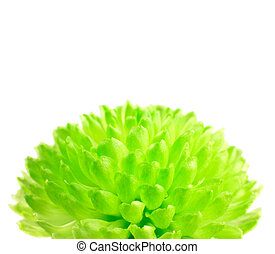 Lime Green Pom Pom Flower Isolated on White with a White...