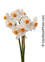 Bouquet of orange and white tazetta daffodils