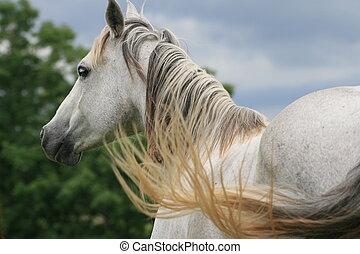 Gray horse - A gray horse