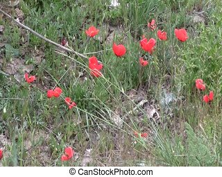 Field of poppies in Iskanderkul - Field of red poppies in...