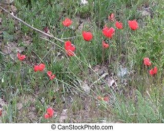 Field of poppies in Iskanderkul