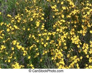 Sunflowers in Iskanderkul - Field of sunflowers in...