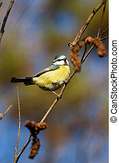 Tit - Great Tit resting on a tree branch