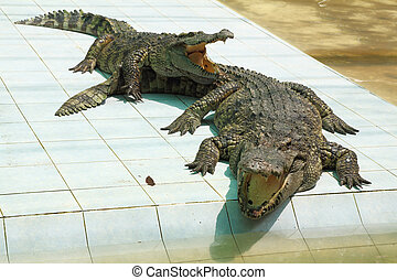 Two hungry crocodiles with open mouths