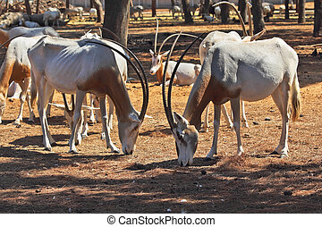 A herd of scimitar horned oryx - A herd of wild goats...