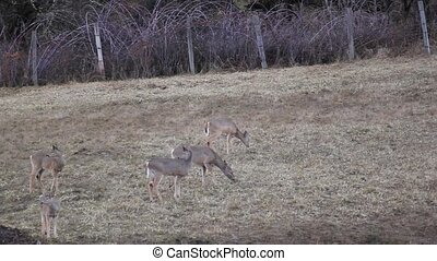 Deer Threatened By a Turkey - I live in a wonderful area for...