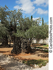 Garden of Gethsemane in Jerusalem. - The great city of...
