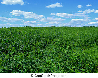 Industrial hemp - Field of hemp. Industrial kind of this...