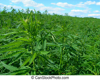 Technical hemp - Technical hemp is not a drug but an...
