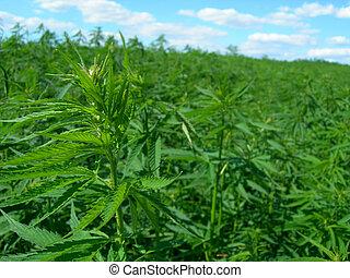 Technical hemp - Technical hemp is not a drug but an...
