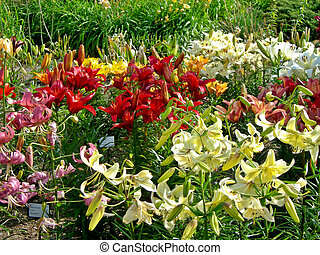 Lily garden - Beautiful botanical garden with daylily and...