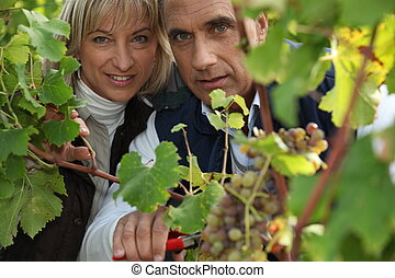 a producer and his wife cropping grapes