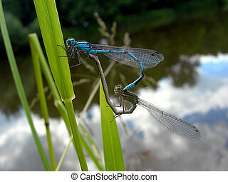 Mating dragonflies - A pair of damselflies - dragonflies is...